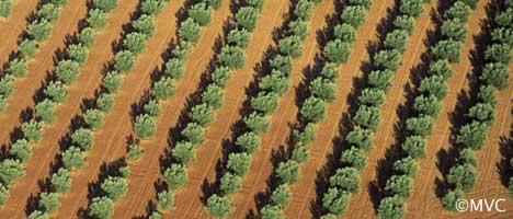 Olivos de Jaén ©Michelle Chaplow. 10 cifras curiosas para describir a Andalucía