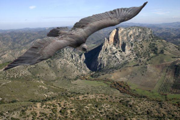 Buitre sobrevolando el Peñón de Zaframagón.